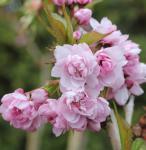 Japanische Hänge Nelkenkirsche 100-125cm - Prunus serrulata
