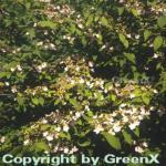Japanischer Schneeball Pink Beauty 30-40cm - Viburnum plicatum