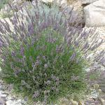 Lavendel Grosso - Lavandula intermedia