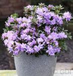 Zwerg Rhododendron Blaue Mauritius 10-15cm - Rhododendron impeditum - Zwerg Alpenrose