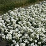 Schaumkresse - Arabis procurrens