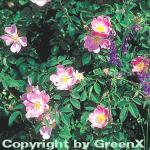 Wiesenrose 40-60cm - Rosa carolina