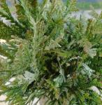 Hibalebensbaum Variegata 80-100cm - Thujopsis dolabrata