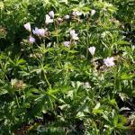 Waldstorchschnabel Roseum - Geranium sylvaticum