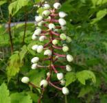 Christophskraut weiße Beeren - Actaea pachypoda