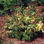 Sommerspierstrauch Crispa 20-30cm - Spiraea japonica