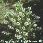10x Cornwallheide Alba - Erica vagans