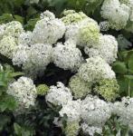 Bauernhortensie Schneeball 30-40cm - Hydrangea macrophylla