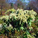 Zwerg Schattenglöckchen 40-50cm - Pieris japonica