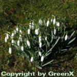 Schneeglöckchen - Galanthus nivalis