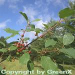 Faulbaum Pulverholz 60-80cm - Rhamnus frangula