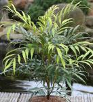 Feinblättrige Mahonie Sweet Winter 20-30cm - Mahonia eurybracteata