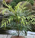 Feinblättrige Mahonie Sweet Winter 30-40cm - Mahonia eurybracteata