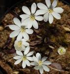 Zwillingsblatt - Jeffersonia diphylla