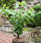 Chinesischer Judasbaum Shirobana 100-125cm - Cercis chinensis