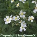 Weißer Hahnenfuß - Ranunculus aconitifolius