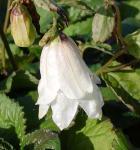 Punktierte Glockenblume Wedding Bells - Campanula punctata