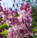 Edelflieder Addie Tischer - Kircher-Collection 60-80cm - Syringa vulgaris