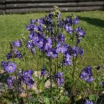 Blaue Himmelsleiter Heavenly Habit - Polemonium caeruleum