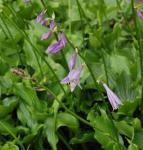 Lanzenblattfunkie - Hosta lancifolia