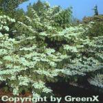 Japanischer Schneeball St. Keverne 60-80cm - Viburnum plicatum