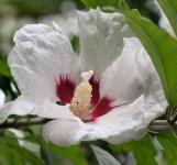 Hochstamm Garteneibisch French Point 125-150cm - Hibiscus