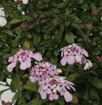 Schleifenblume Pink Ice - Iberis sempervirens