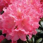 Hochstamm Rhododendron Polaris 60-80cm - Alpenrose