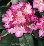 Großblumige Rhododendron Quinte 40-50cm - Alpenrose