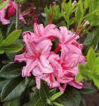 Rhododendron Westton Sparkler 40-50cm - Rhododendron viscosum