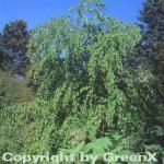 Hänge Judasblattbaum 80-100cm - Cercidiphyllum japonicum