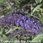 Schmetterlingsstrauch Adonis Blue 40-60cm - Buddleja