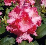 Rhododendron Tatjana 25-30cm - Alpenrose
