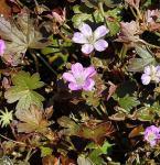 Storchenschnabel Tanya Rendall - Geranium cultorum