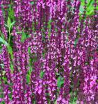 Salbei Sensation Medium Pink - großer Topf - Salvia nemorosa