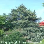 Japanische Zwergmädchenkiefer 70-80cm - Pinus parviflora