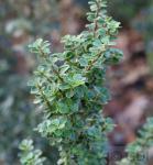 Bonsaiartige Zwergstechpalme Mariesii 30-40cm - Ilex crenata