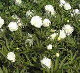 Edelpfingstrose Charlies White - Paeonia lactiflora
