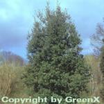 Immergrüne Stein Eiche 100-125cm - Quercus ilex