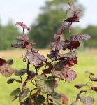 Rotblättrige Korkenzieher Hasel 80-100cm - Corylus avellana