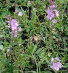 Niederliegender Garten Ehrenpreis Mrs Holt - Veronica prostrata