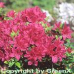 Japanische Azalee Lilac 20-25cm - Rhododendron obtusum - Zwerg Alpenrose