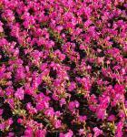 Rosen Primel Rosy - Primula rosea