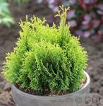 Gelbe Scheinzypresse Miky 10-15cm - Chamaecyparis lawsoniana