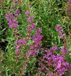 Rutenweiderich Dropmore Purple - Lythrum virgatum