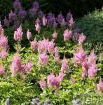 Prachtspiere Visions in Pink - Astilbe arendsii