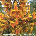 Hochstamm Schmuckginster Firefly 60-80cm - Cytisus scoparius
