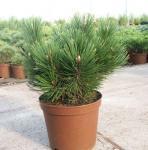 Kompakte Schlangenhautkiefer Dem Ouden 80-100cm - Pinus leucodermis