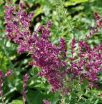 Ziersalbei Schwellenburg - Salvia nemorosa