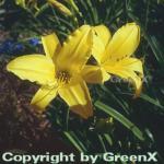Taglilie Mary Todd - Hemerocallis